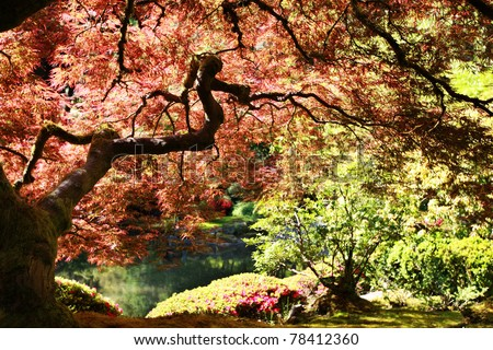 Japanese maple in the Japanese Gardens in Portland, Oregon - stock photo