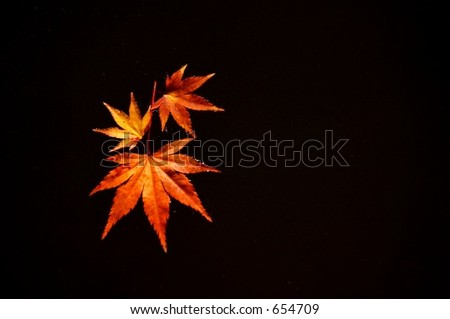 Japanese Maple Leaves on Water