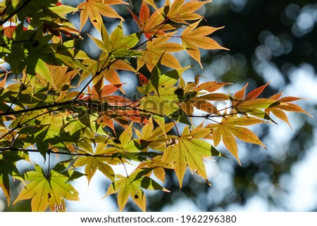 Japanese maple leaves that have begun to color Zdjęcia stock ©