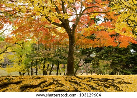 Japanese maple tree in autumn with yellow ginkgo leaves on forest floor