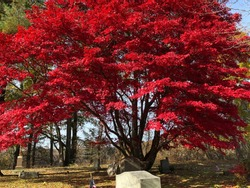 Japanese Maple tree in cemetary