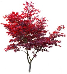 Japanese maple tree on white