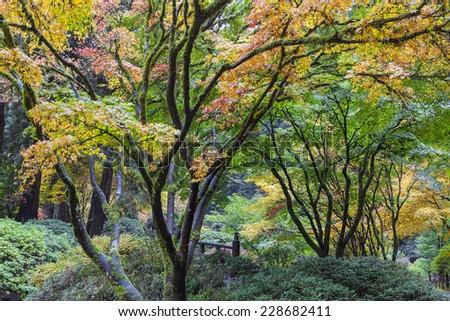 Japanese Maple Trees Fall Color Foliage by the Moon Bridge at Portland Japanese Garden in Autumn Season