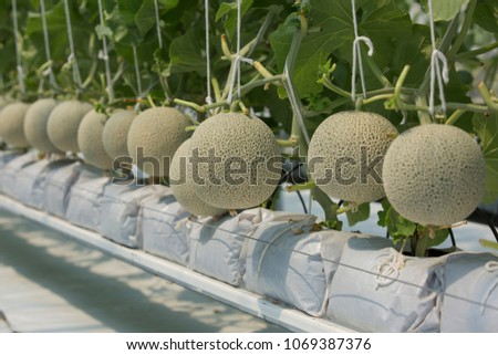 Japanese melons or green melon or cantaloupe melons plants growing in greenhouse supported by string melon nets.