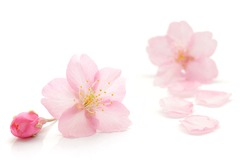 Japanese natural pink cherry blossom and petals isolated on pure white background, spring photography