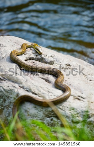 Japanese Rat Snake Bathing in the Sun. This image was taken in Kanagawa Prefecture, Japan