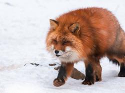 Japanese Red fox in snow winter, Miyagi, Sendai, Japan.