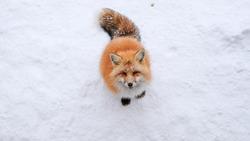 Japanese Red fox with snow winter in Miyagi, Sendai, Japan