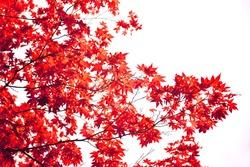 Japanese red maple leaf isolated on white background
