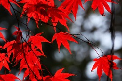 Japanese red maple leaves in autumn