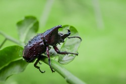 Japanese rhinoceros beetle with green blur background in the wild