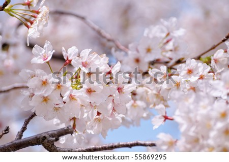 Japanese sakura blossoms - stock photo