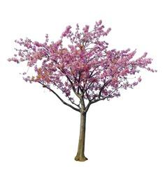 Japanese sakura flower, full blooming pink cherry blossoms tree isolated on white background.