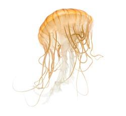 Japanese sea nettle, Chrysaora pacifica, Jellyfish against white background