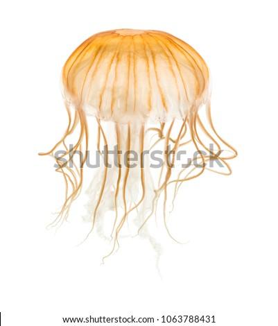 Japanese sea nettle, Chrysaora pacifica, Jellyfish against white background #1063788431