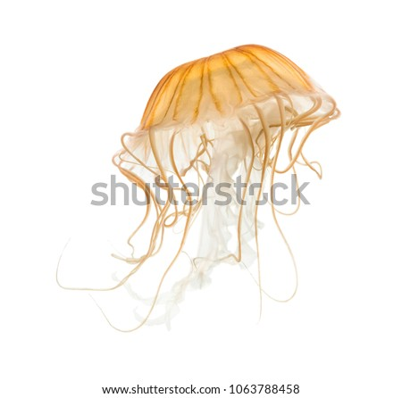 Japanese sea nettle, Chrysaora pacifica, Jellyfish against white background #1063788458