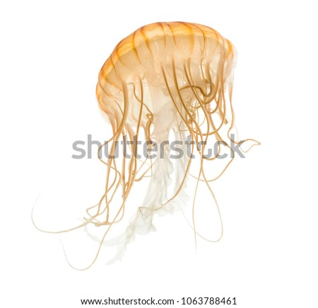 Japanese sea nettle, Chrysaora pacifica, Jellyfish against white background #1063788461