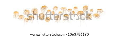 Japanese sea nettles, Chrysaora pacifica, Jellyfish against white background #1063786190