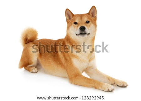 Japanese Shiba Inu dog in front of a white background
