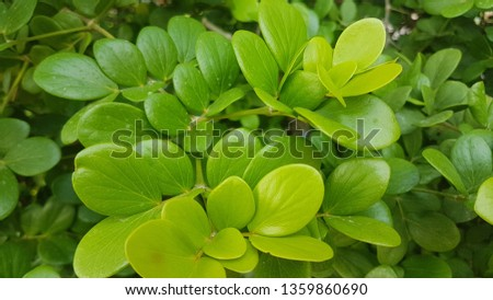 Japanese shrub, small shrub, 1-2 meters tall, do not shed leaves. Round-shaped canopy Brown bark, branch, hanging down. Popularly used to plug sales into potted plants #1359860690