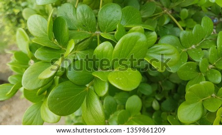 Japanese shrub, small shrub, 1-2 meters tall, do not shed leaves. Round-shaped canopy Brown bark, branch, hanging down. Popularly used to plug sales into potted plants #1359861209