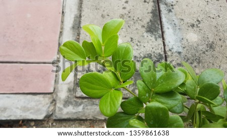 Japanese shrub, small shrub, 1-2 meters tall, do not shed leaves. Round-shaped canopy Brown bark, branch, hanging down. Popularly used to plug sales into potted plants #1359861638