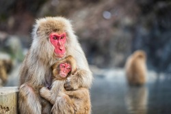 Japanese Snow monkey Macaque mother hug its baby to prevent cold near hot spring pond of Jigokudani Park at winter, Yamanouchi, Nagano, Japan. Famous landmark to see wildlife.