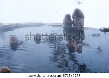 Japanese snow monkeys bathing in hot spring in winter #573562978