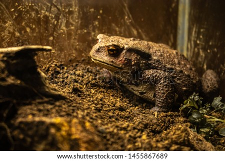 """Japanese stream toad, species of toad in the family called """"Bufonidae"""", Japanese stream toad in captivity, Japanese stream toad in a glass cage, Closeup."""