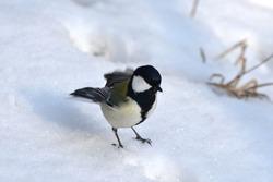 Japanese tit  twittering on a bitter winter morning.