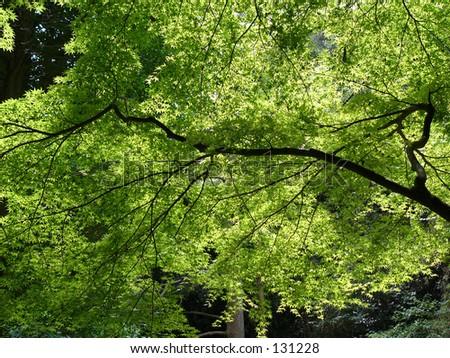 japanese tree branch
