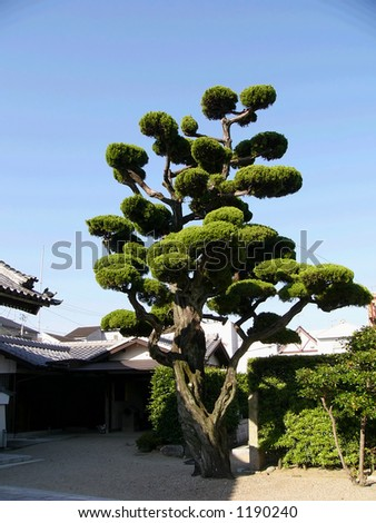 japanese tree in the temple backyard, Japan