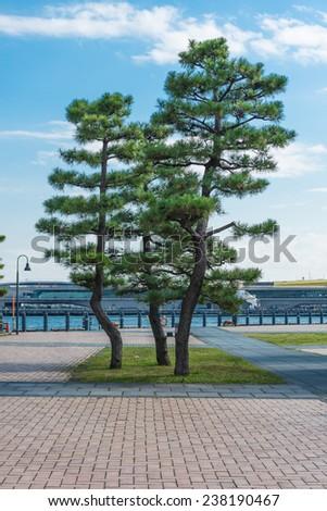 japanese tree in the yokohama park, Japan