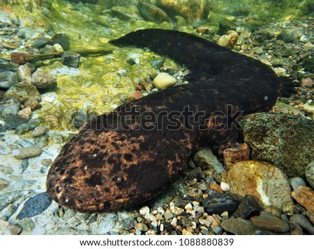 Japanese undewater photographer taking the photo of a very rare giant salamander. Protected by law, it is rare to see them move around in life.