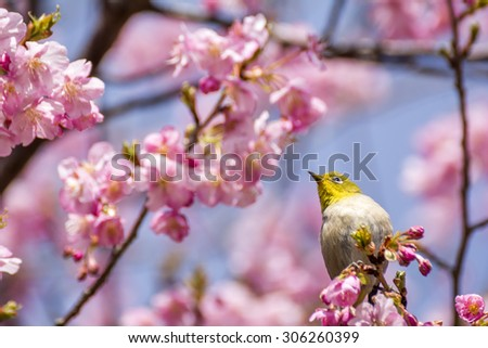 Japanese white-eye bird (Zosterops japonicus) on cherry blossoms in early spring
