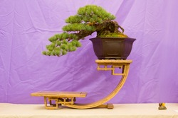 Japanese White Pine Bonsai in training in Northern Ireland and on display at the Belfast spring festival at Barnetts Demesne in April 2018