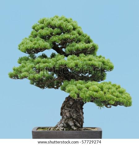 Japanese White Pine bonsai (Pinus parviflora)