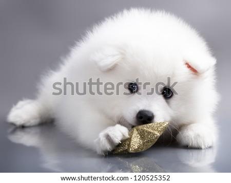 Japanese white spitz