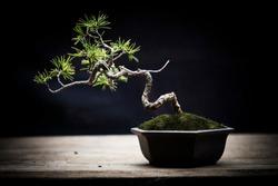 japanese whitepine bonsai