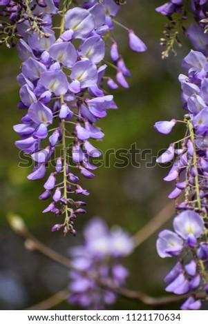 Japanese Wisteria (wisteria floribunda) #1121170634