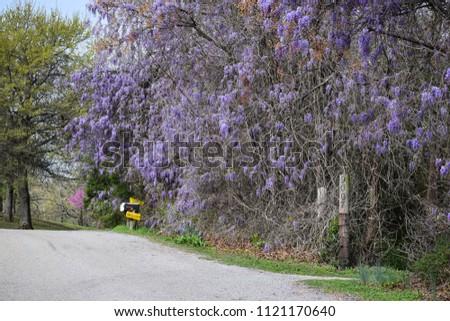 Japanese Wisteria (wisteria floribunda) #1121170640