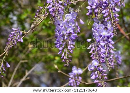 Japanese Wisteria (wisteria floribunda) #1121170643