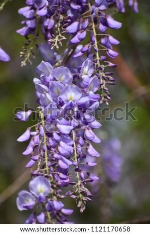 Japanese Wisteria (wisteria floribunda) #1121170658