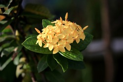 Japanese Yellow Soka Plants or Yellow Ixora. In Indonesia it is also called siantan flower,bunga Asoka.