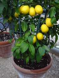 jar with lemon plant. lemon plant