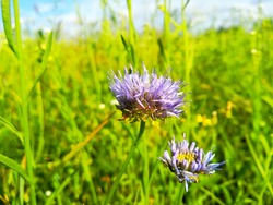 Jasione montana is a low-growing plant in the family Campanulaceae. Commonly sheep's-bit, blue bonnets, blue buttons, blue daisy, iron flower