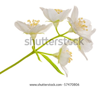 jasmin branch with flowers isolated on white background