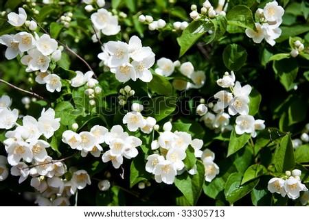 Jasmin Flowers