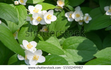 jasmine an Old World shrub or climbing plant that bears fragrant flowers used in perfumery or tea. It is popular as an ornamental. fluminense  Gold Coast Jasmine #1550249987