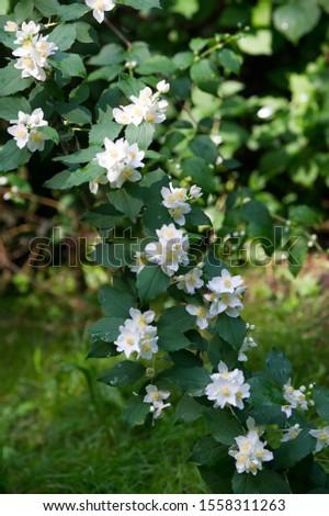 jasmine an Old World shrub or climbing plant that bears fragrant flowers used in perfumery or tea. It is popular as an ornamental. fluminense  Gold Coast Jasmine #1558311263